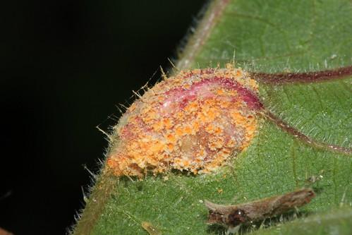 Nettle Clustercup Rust 18087