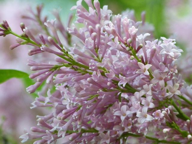 James MacFarlane   lilac in my gardenJames Macfarlane Lilac