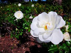 Anaheim White Roses