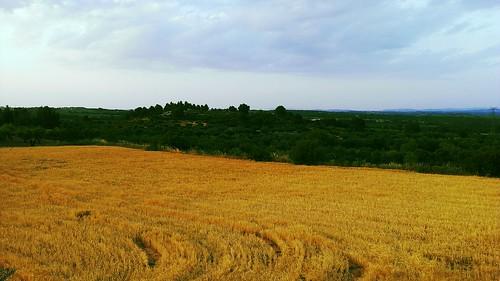 Campo de cereal junto a Villalpardo, Cuenca