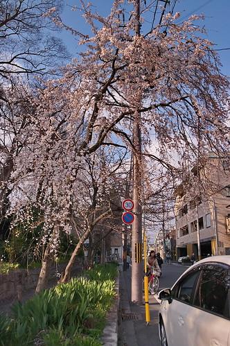 【写真】2013 桜 : 平野神社/2021-01-09/IMGP8722