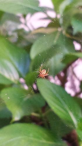 il ragno rosso