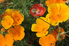 annual plant, eschscholzia californica, flower, yellow, plant, macro photography, herb, wildflower, flora, petal, poppy,