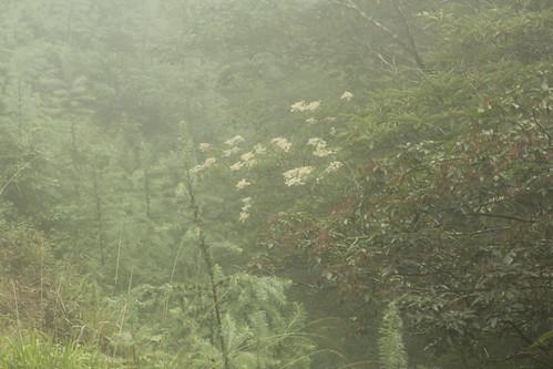 霧雨のノリウツギ