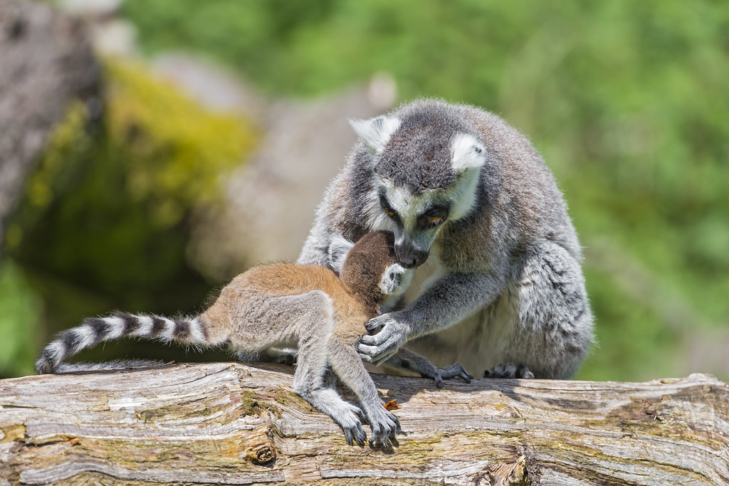 Mother and baby catta lemur