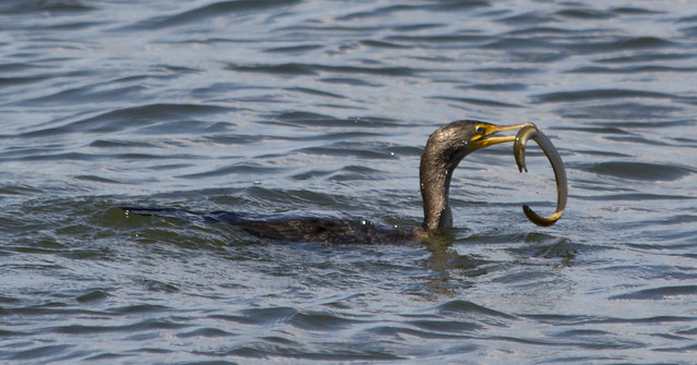 Great Cormorant 0002 - chomping on eel - East Potomac Park - 2013-08-25