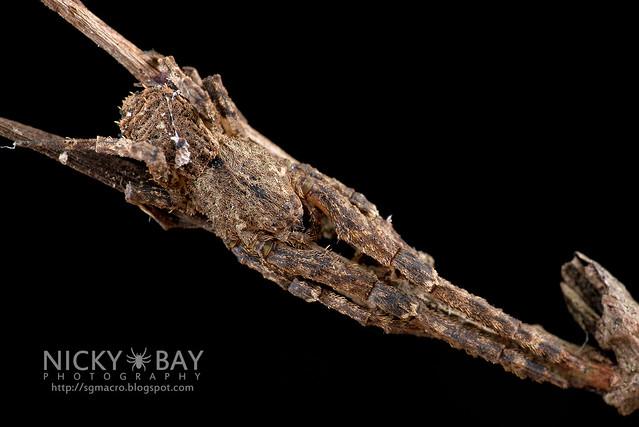 Litter Crab Spider (Borboropactus sp.) - DSC_3517