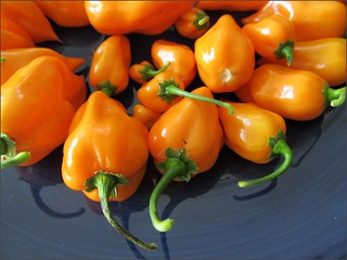 Orange chile peppers 1