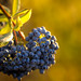 Blue berries at golden hour - Palo Alto Baylands