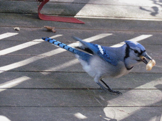 Blue Jay with peanuts3 10:15:13