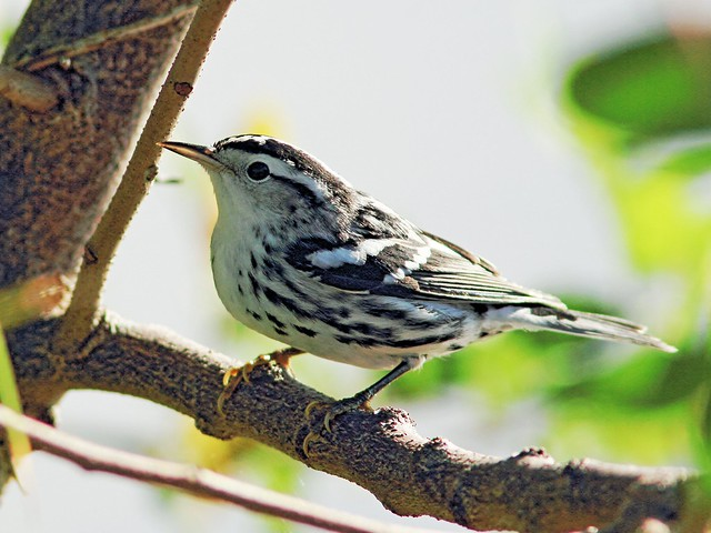 Black-and-white Warbler 2-20131017