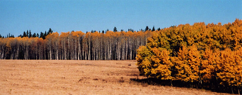 birch trees in the fall