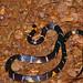 Black-headed Calico Snake (Oxyrhopus melanogenys) ©berniedup