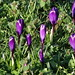 Blackheath, crocus out already
