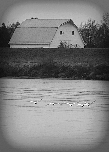 03-02-14 Swans on the Skagit by roswellsgirl
