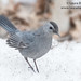 Gray Catbird in Snow