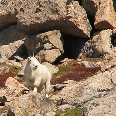 Mountain goat surveys the terrain