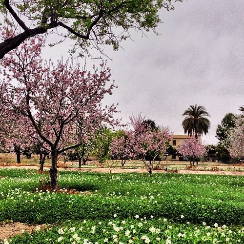 Almendros en flor, Alicante, Alifornia.