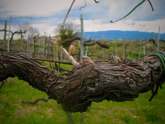 Spring in a Vineyard