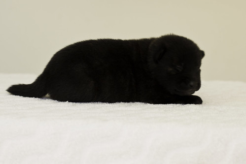 Ayui-Litter4-Day20-Puppy3-Female-c