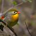 Red-billed Leiothrix by uropsalis