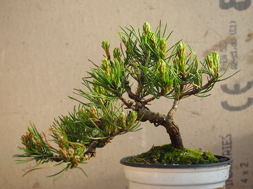mugo pine twinsrat bonsai. Black Bedroom Furniture Sets. Home Design Ideas