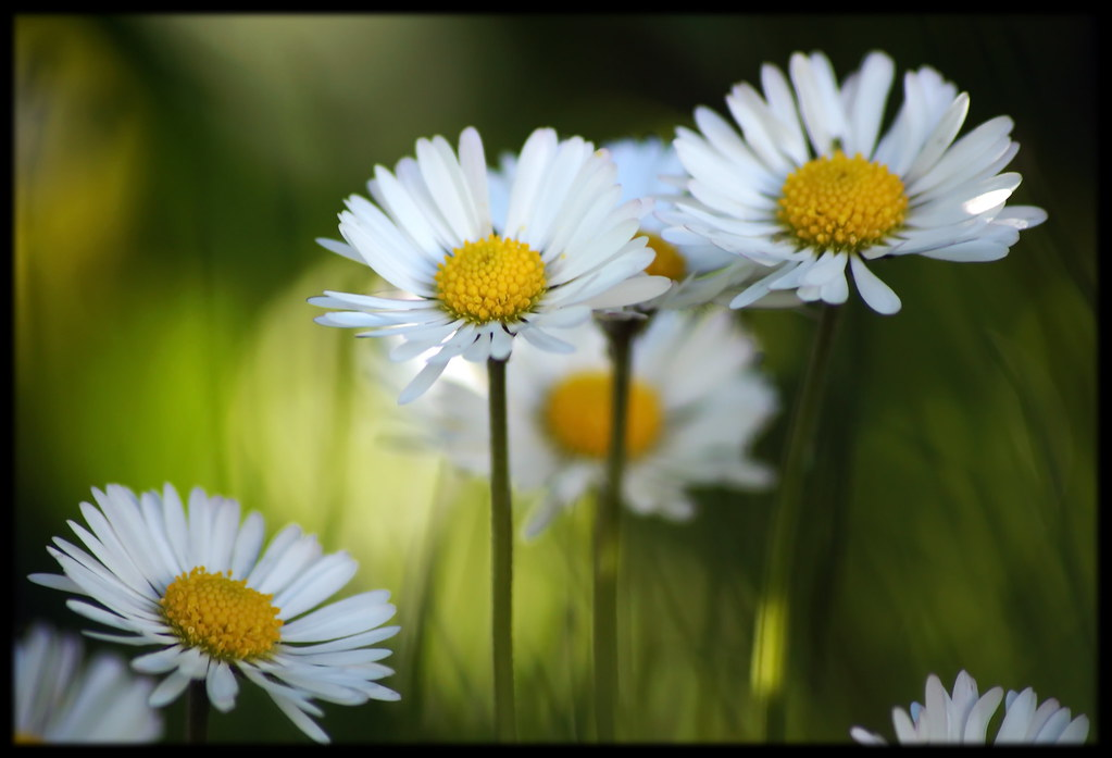 *** Daisies Group ***