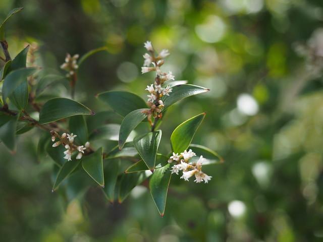 Trochocarpa montana flowers Barrington Tops NP