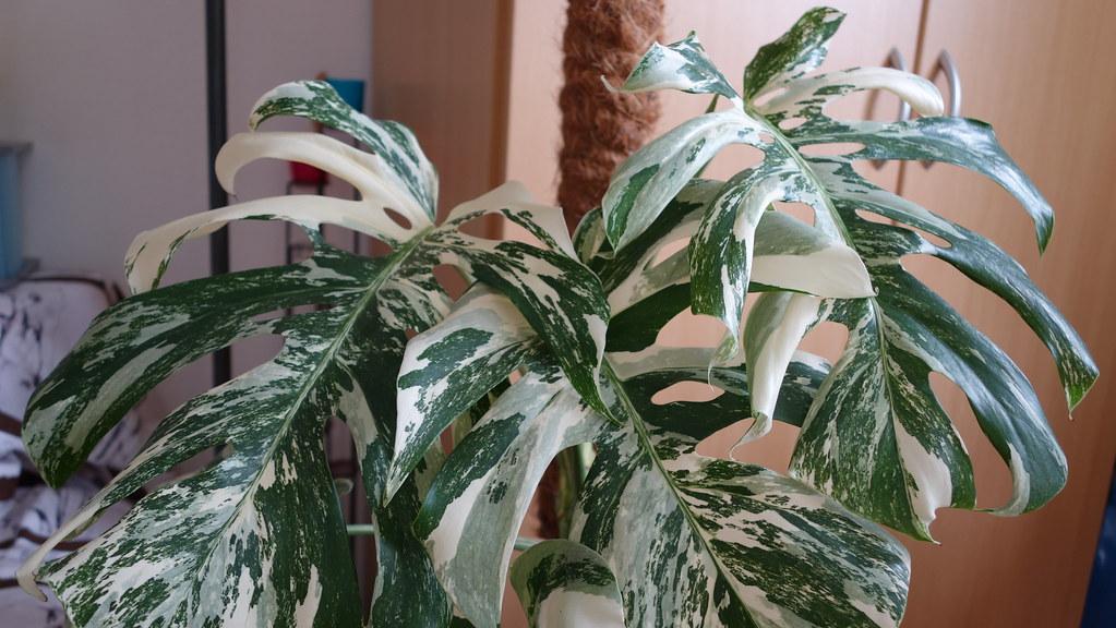 Monstera deliciosa variegata - Page 2 16408949521_37f68ed25f_b