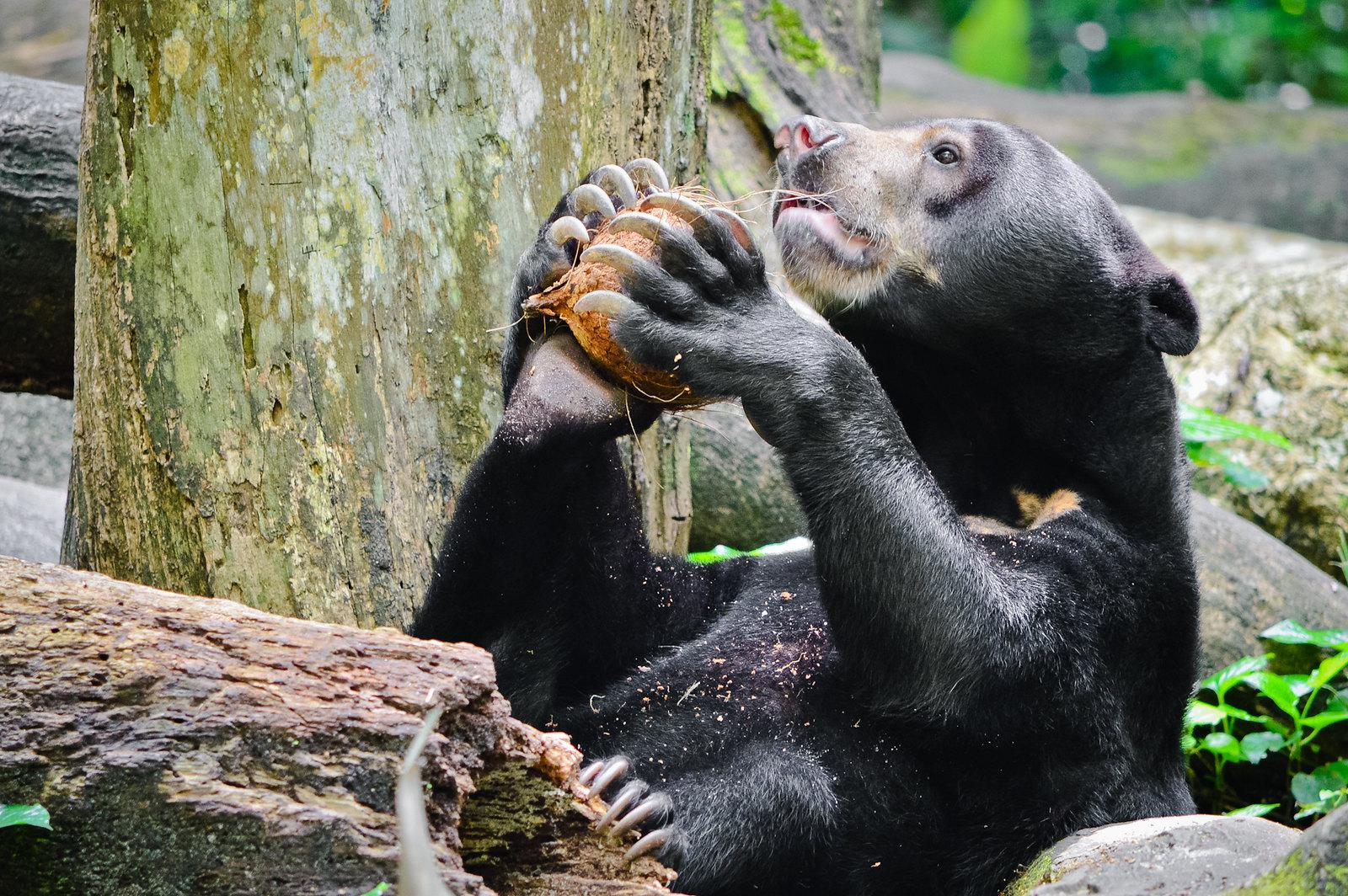 Singapore Zoo Sun Bear