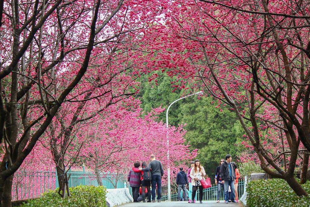 九族櫻花祭 (139)