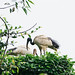 Small photo of African sacred ibis (Threskiornis aethiopicus)