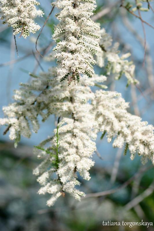 Ветвь белого тамарикса
