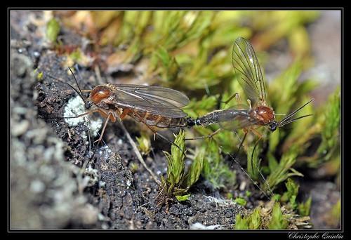 Accouplement de Mycetophilidae (Sciophila sp.)