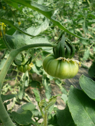 petite tomate ananas