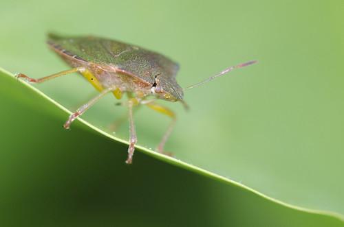 Punaise (Pentatomidae)