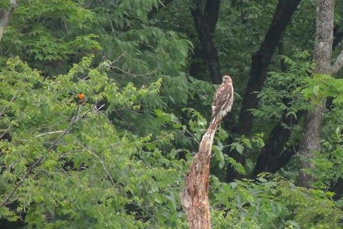 Red Tailed Hawk being watched by Oriole