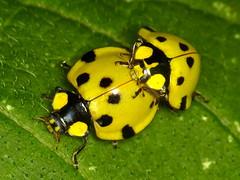 Beetles of Ecuador, old