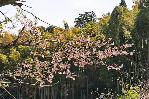 【写真】2013 桜 : 大原野神社/2021-01-15/IMGP0074