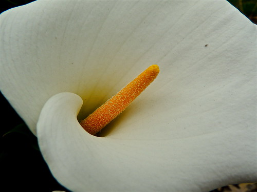 Arum Lily ......(184/365) by Irene_A_