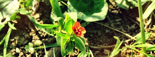 Scarlet Pimpernel in sun