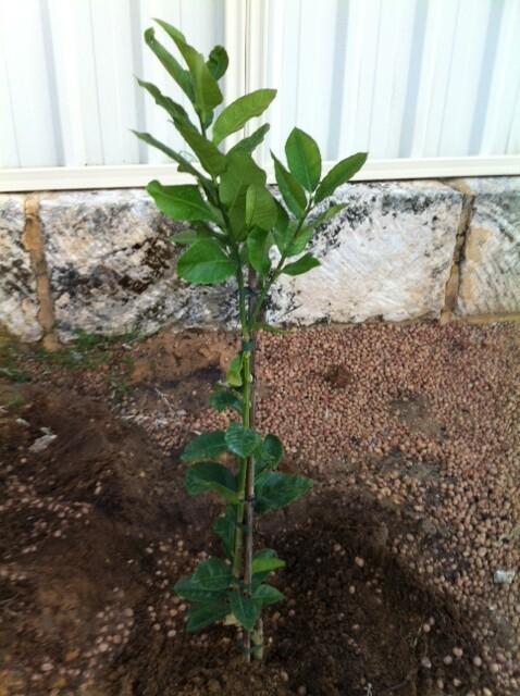 lemon planting in Citrus Grove by fe2h2o