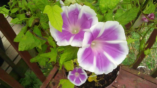Ipomoea nil Fujie's Lavender-Pink Youjiro with Tube Flags by Gerris2