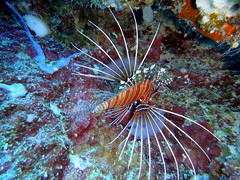 Lionfish on Big Drop Off reef, Palau