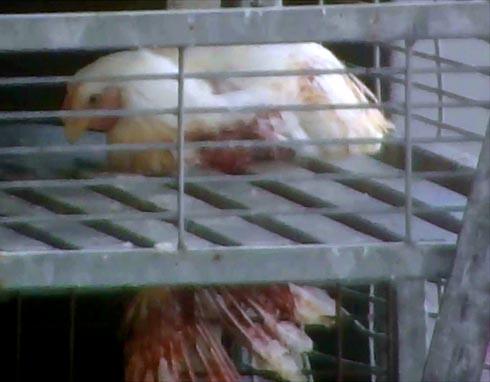 זולוגבק - כנף תרנגול מגואלת בדם לאחר שנזרקה ממכונת ההיפוך