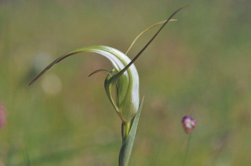 Pterostylis falcata Sickle Greenhood EC