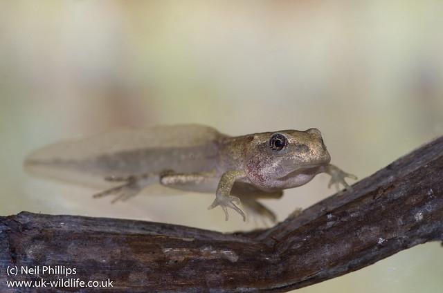 froglet-5