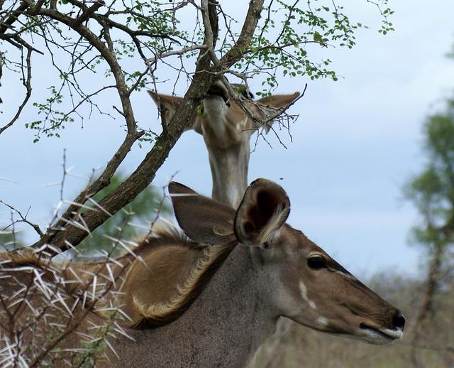 Kudu, Kruger
