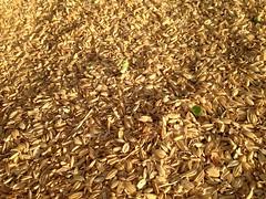 粗糠中的蘿蔔苗。