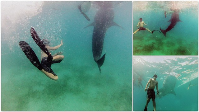 whale shark dancing